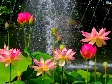 lotus-8a